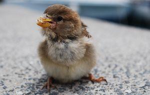 Pippi Fågel