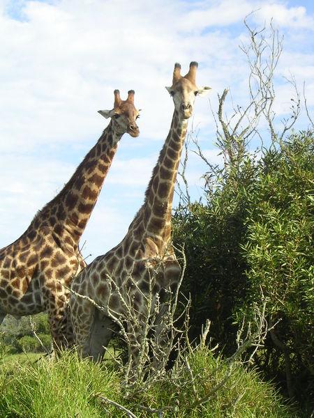 Giraffer har fyrtio centimeter tunga som är blå