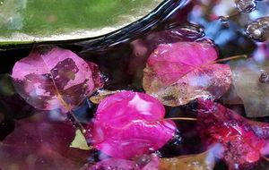 Näckrosblad och bougainvillea