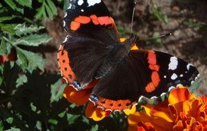 Fjäril på Tagetes