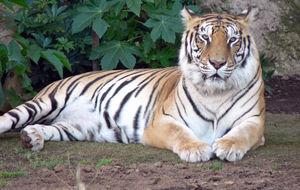 Tiger i Loro Parque