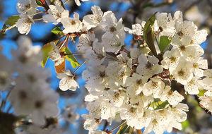 vallebygden i körsbärsblom