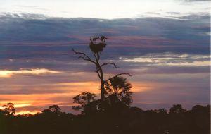 Storkar i gryningen
