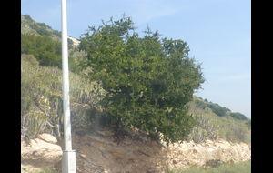 Argan träd/buske