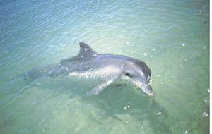 Delfin, Monkey Mia, W.A