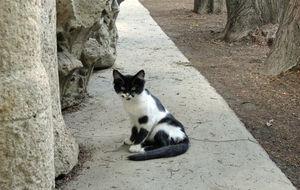 Cypernkatt