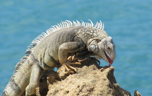Iguana - caught in the moment