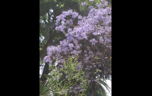Jakarandaträd i Malaga