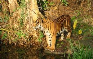 Sumatransk Tiger