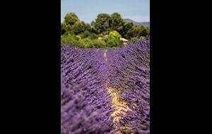 Lavendel så långt ögat når ...