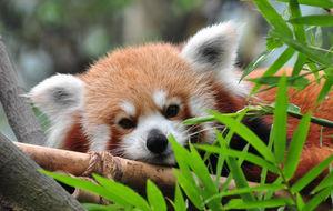 Singapore Zoo - Röd Panda
