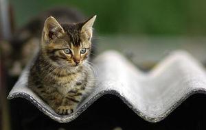 Vild kattunge i Danmark