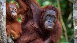 Orangutanger, regnskog eller sandstrandshäng? Du väljer!