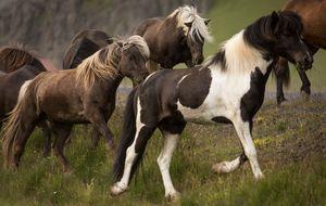 Islandshästar i sitt rätta element