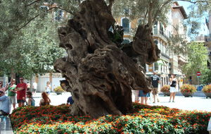 Ett vackert olivträd