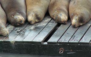 Sussande sjölejon på Pier 39