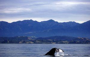 Kaskelot (Spermwhale)-fena