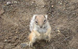 Jordekorre som vill ha nötter