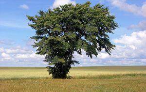 Ensamt träd, Jylland