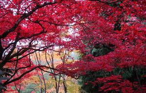Den rödaste lövprakt jag någonsin sett