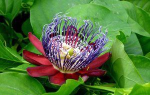 Passionsblomma. Passiflora alata.