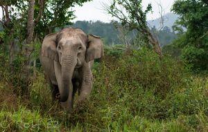 Vild asiatisk elefant i Kuiburi