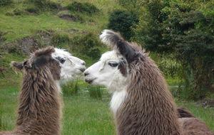 Llamas - alpacas
