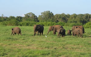 Elefantfamilj, Sri Lanka