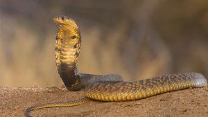 Egyptisk kobra