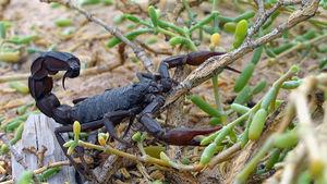 Svart tjocksvansskorpion