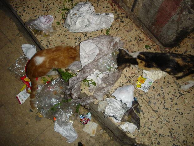 Egyptiska katter