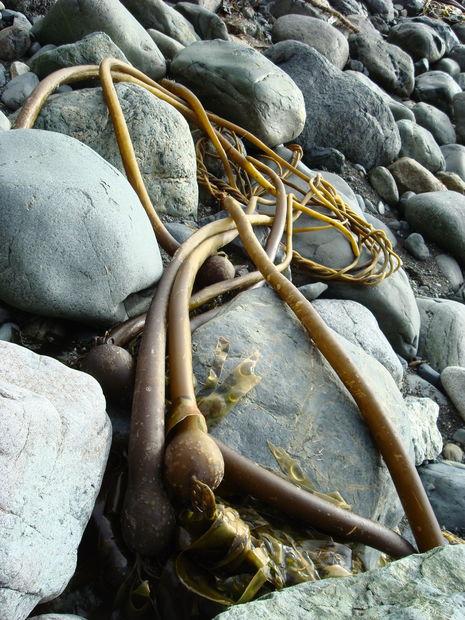 Startsida › bilder › kanada › sooke › konstiga havsväxter