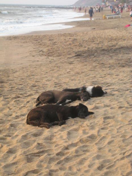 Söta hundar =P - Bilder Anjuna, Indien