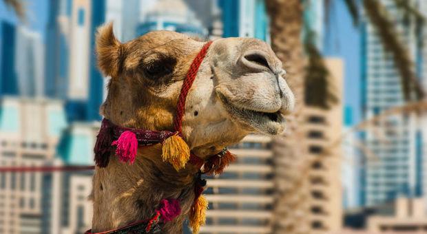 Är herr kamel den nya guden hos Apollo?