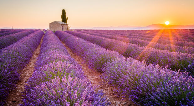Lavendelfält i Provence.