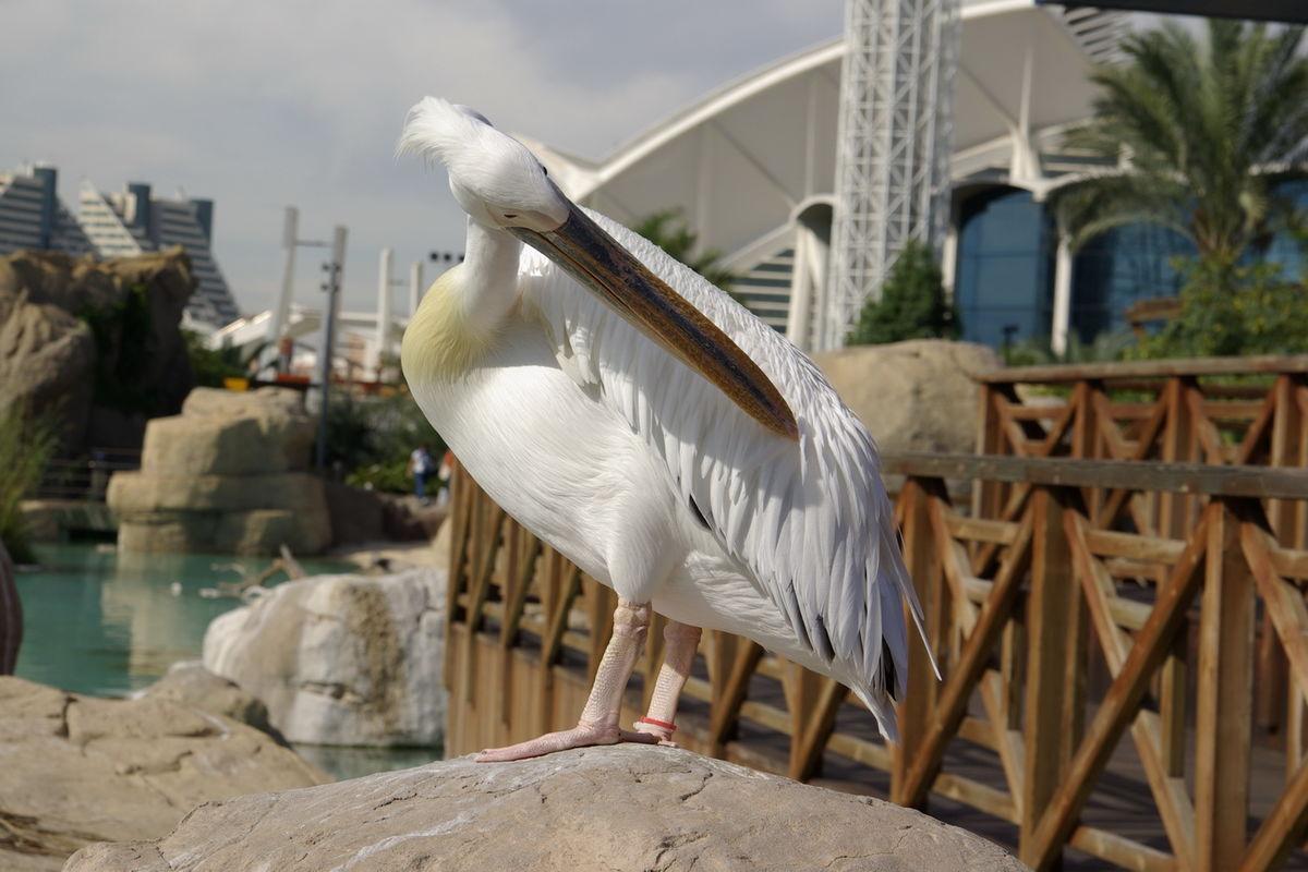 En snygg pelikan :)