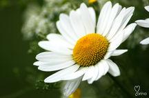 Blommor från Södermanland