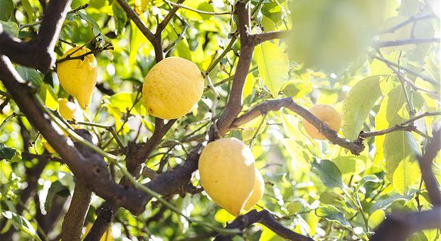 Koppla av bland citronträd på Villa Belvedere.